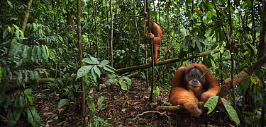 Sumatran orangutan (Pongo abelii) mature male 'Halik' aged 26 years sitting in a forest clearing watched from a tree by female 'Juni' aged 12 years. Gunung Leuser National Park, Sumatr...
