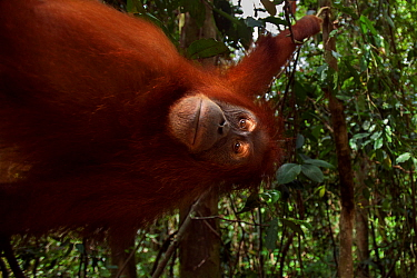 Sumatran orangutan (Pongo abelii) female 'Juni' aged 12 years swinging from a liana. Gunung Leuser National Park, Sumatra, Indonesia. Rehabilitated and released (or descended from those which...