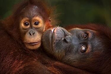 Sumatran orangutan (Pongo abelii) female 'Jaki' aged 16 years with baby daughter 'Jodi' aged 2-3 years - portrait. Gunung Leuser National Park, Sumatra, Indonesia. Rehabilitated and re...