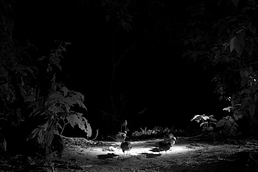 Wedge-tailed Shearwaters (Puffinus pacificus) at night, Heron Island, southern Great Barrier Reef, Queensland, Australia. Taken with infra-red camera.