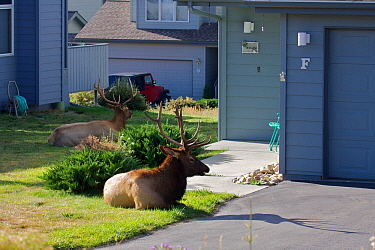 Elk (Cervus canadensis) stag resting outside house during the rut, Estes Park, Larimer County, Rocky Mountains, Colorado, United States, September.
