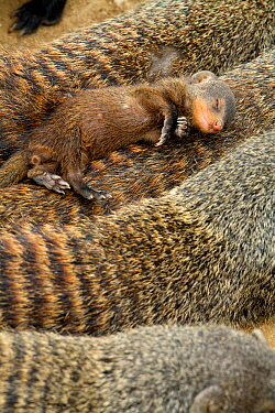 Banded mongoose (Mungos mungo) juvenile sleeping on adult 'escort', Queen Elizabeth National Park, Mweya Peninsula, Uganda, Africa.