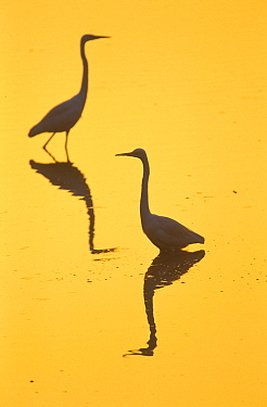 Two Great egrets (Ardea alba) wading,  silhouetted at dawn, Keoladeo National Park, Bharatpur, Rajasthan, India.