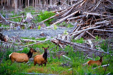 Roosevelt elk (Cervus elaphus roosevelti) in a cut forest. East coast, near Telegraph Cove, Vancouver Island, British Columbia, Canada, July.