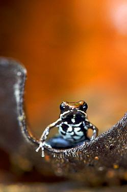 Marbled poison dart frog (Epipedobates boulengeri) on leaf, Ecuador.