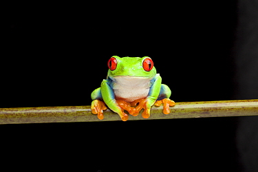 Red-eyed leaf frog (Agalychnis callidryas) from Central America