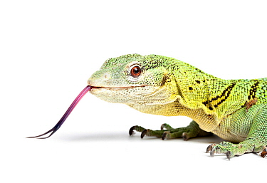 Green tree monitor (Varanus prasinus) with tongue out, captive from SE Asia.