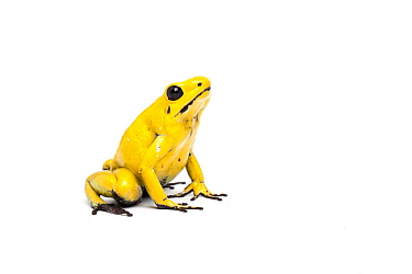 Yellow poison dart frog (Phyllobates terribilis) the world's most poisonous amphibian captive from northern South America.