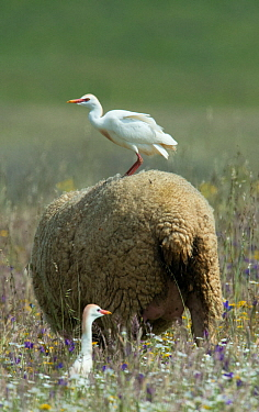 Cattle egret (Bubulcus ibis) perched on the back of a sheep, with another on the ground, Castro Verde, Alentejo, Portugal, April.