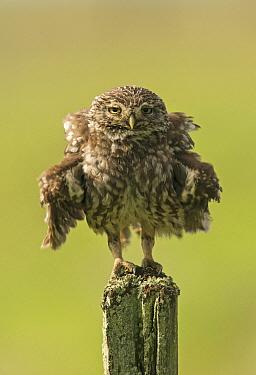 Little owl (Athene noctua) perched on a fence post, ruffling its feathers, Castro Verde, Alentejo, Portugal, April.