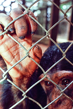 Chimpanzee (Pan troglodytes schweinfurthii) in cage, confiscated from poachers, housed in Epulu, Okapi Wildlife Reserve, Orientale Province, North-East, Democratic Republic of Congo