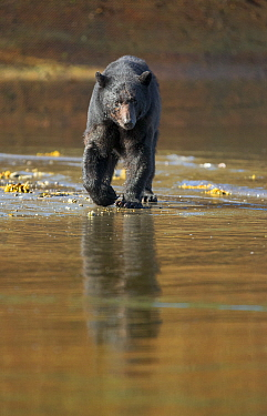 Black Bear (Ursus americanus) hunting for spawning Salmon during low tide, Neets Creek estuary, Alaska, July.