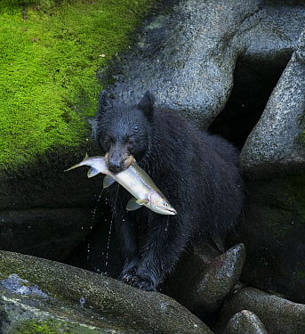 Black Bear (Ursus americanus) with Pink Salmon (Oncorhynchus gorbuscha) catch, Anan Creek, Alaska, July.