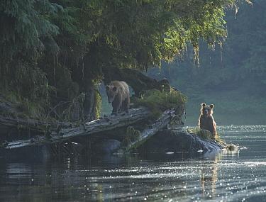 Two juvenile Brown Bear siblings (Ursus arctos) look for food on the banks of the Anan Creek lagoon, Alaska, July.