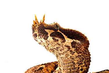 Rhinoceros viper (Bitis nasicornis), from Central Africa, captive, July.