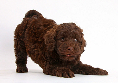 Cute chocolate Toy Goldendoodle puppy in play-bow.