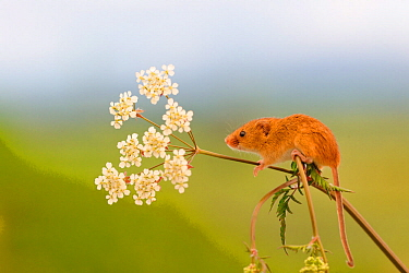 Harvest mouse (Micromys minutus) on stalk, West Country Wildlife Photography Centre, captive, June.