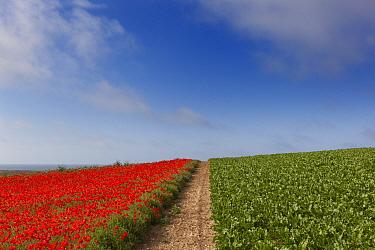 Field Poppies Pavaver rhoea and Sugar beet crop in Norfolk Field UK July