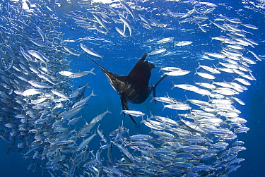 Indo Pacific Sailfish (Istiophorus platypterus) feeding on sardines (Sardina pilchardus), Isla Mujeres, Mexico, March.  -  Chris and Monique Fallows