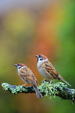 Tree sparrows (Passer montanus) perching on a branch in the rain. Perthshire, Scotland, December.