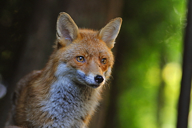 Red Fox (Vulpes vulpes) portrait in an urban area. Glasgow, Scotland. May.