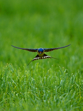 Barn swallow (Hirundo rustica) flying low over the ground, Indre-et-Loire , France, June.