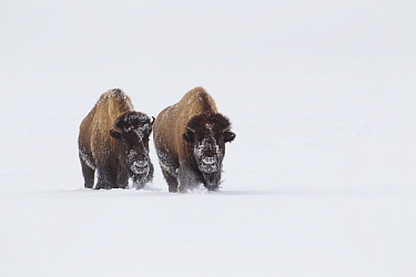 American Bison (Bison bison) walking through deep snow, Yellowstone National Park, Wyoming, USA, February.