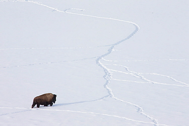 American bison (Bison bison) walking through snow using tracks made by other animals, Yellowstone National Park, Wyoming, USA, February.