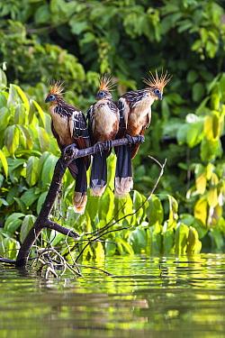 Hoatzins (Opisthocomus hoazin) perched in rainforest, Tambopata Reserve, Peru, South America.
