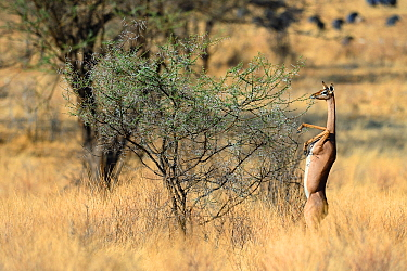 Female Gerenuk (Litocranius walleri) standing on hind legs browsing on acacia trees  Samburu National Reserve, Kenya, Africa.