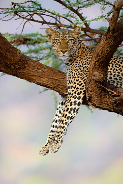 Leopard (Panthera pardus) resting in acacia tree, Samburu National Reserve, Kenya, Africa.