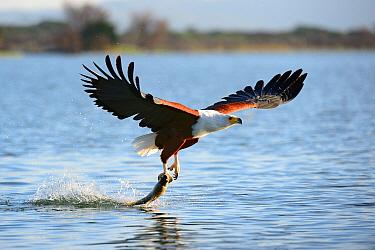 African fish eagle (Haliaeetus vocifer) fishing, Baringo lake, Kenya, Africa.