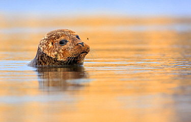 Common / Harbour seal (Phoca vitulina) looking out of water with bee hovering above its nose. Shetland Islands, Scotland, UK, July.
