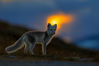Arctic Fox (Alopex / Vulpes lagopus) at sunset, during moult from grey summer fur to winter white. Dovrefjell National Park, Norway, September.