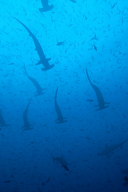 Large school of scalloped hammerhead sharks (Sphyrna lewini). Galapagos Islands.