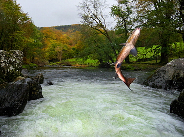 Salmon / Trout fish (Salmo sp) jumping a waterfall on the Afon Lledr, Betws Y Coed, Wales, October