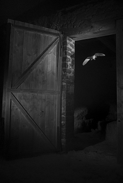Barn owl (Tyto alba) flying through barn door at night, taken with infra red remote camera trap, Mayenne, Pays de Loire, France, November.