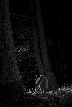 Feral cat (Felis catus) at night, taken with infra-red remote camera trap, France, November.