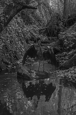 Grey heron (Ardea cinerea) in small stream at night, taken with infra-red remote camera trap, France. October.