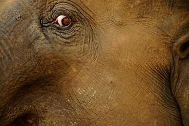 Close up of eye of Indian elephant (Elephas maximus) Royal Bardia National Park, Nepal, October 2011.