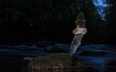 Daubenton's bat (Myotis daubentonii) hunting a mosquito. central Finland, June.