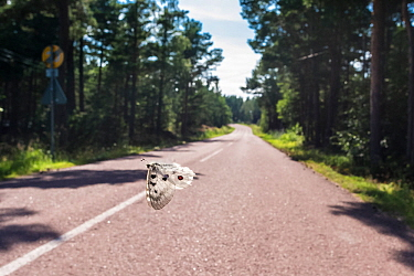 Mountain Apollo butterfly (Parnassius apollo) male flying across road, Aland Islands, Finland, July.