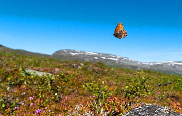 Norse Grayling butterfly (Oeneis norna) flying in habitat, Lapland, Finland, July.