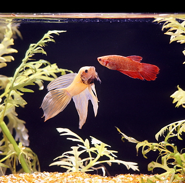 Siamese fighting fish (Betta splendens) 'phantom' coloured male displaying to a female, captive from Malaysia and Thailand.