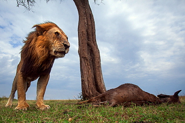 Lion (Panthera leo) old male with one eye standing next to a kill. Masai Mara National Reserve, Kenya. Taken with remote wide angle camera.