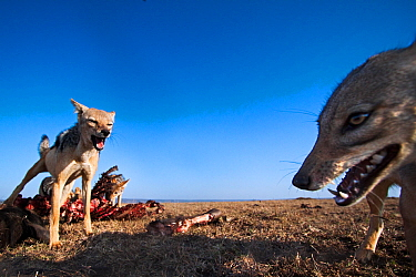 Black-backed jackals (Canis mesomelas) feeding on a wildebeest carcass. Masai Mara National Reserve, Kenya. Taken with remote wide angle camera.
