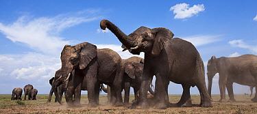 African elephants (Loxodonta africana) dust bathing. Masai Mara National Reserve, Kenya. Taken with remote wide angle camera.