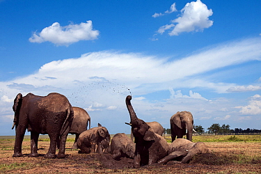 African elephants (Loxodonta africana) wallowing in a waterhole. Masai Mara National Reserve, Kenya. Taken with remote wide angle camera.