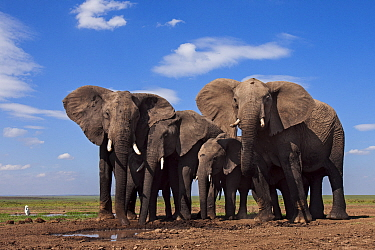 African elephants (Loxodonta africana) drinking at a waterhole. Masai Mara National Reserve, Kenya. Taken with remote wide angle camera.