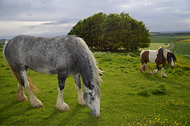 Two Irish Gypsy cob mares (Equus caballus), one dapple grey - grazing and one piebald - walking on rough pastureland on Hackpen Hill with a Beech clump (Fagus sylvaticus) in the background, The Ridgew...